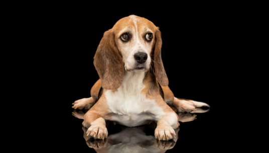 Beagle Freedom Project Files Lawsuit Against USDA-APHIS, in Effort to Restore the Animal Abuse Registry