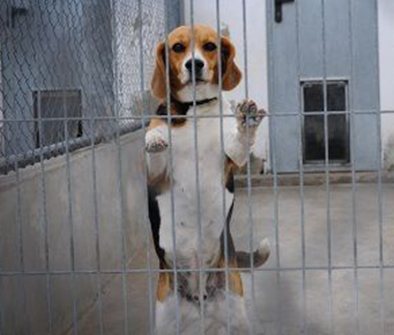 Beagle waiting for being rescued