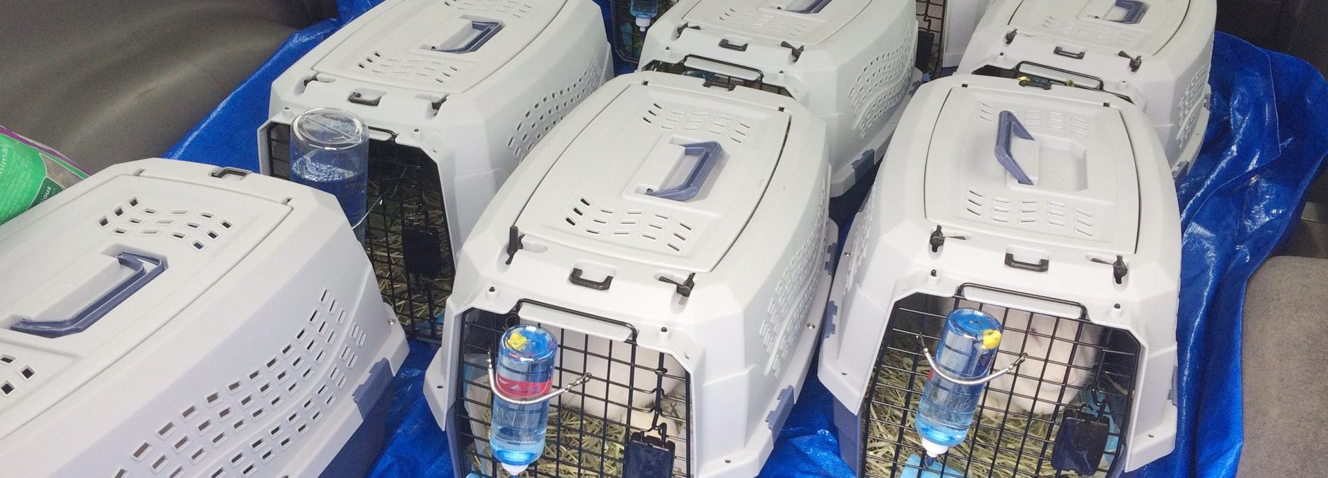 Beagle Freedom Project Saved 10 Bunnies From Human Drug Testing