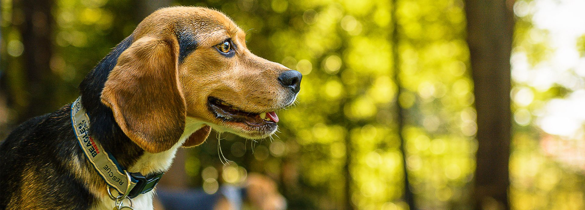 Maryland Passes 'Beagle Freedom Bill' to Help Research Dogs Get Adopted