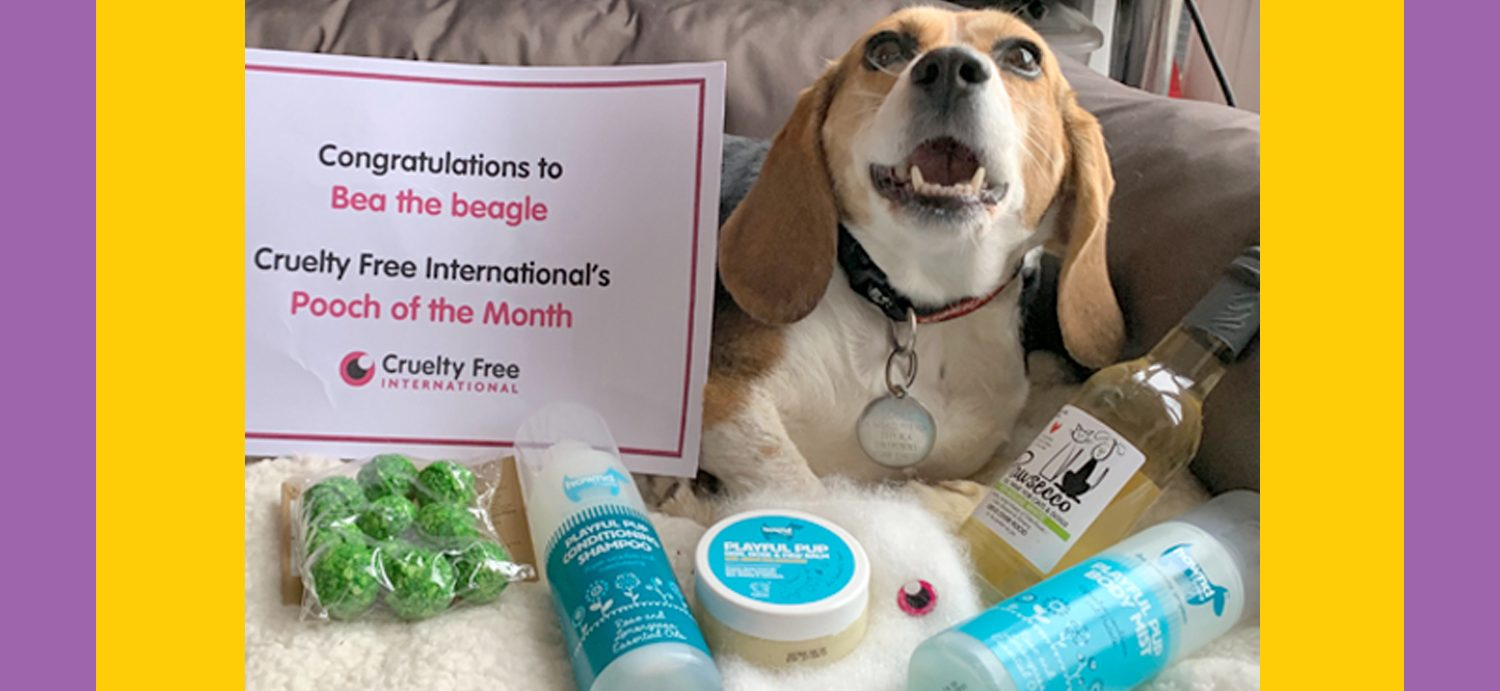 Inspirational beagle Bea is making the most of life outside of laboratories