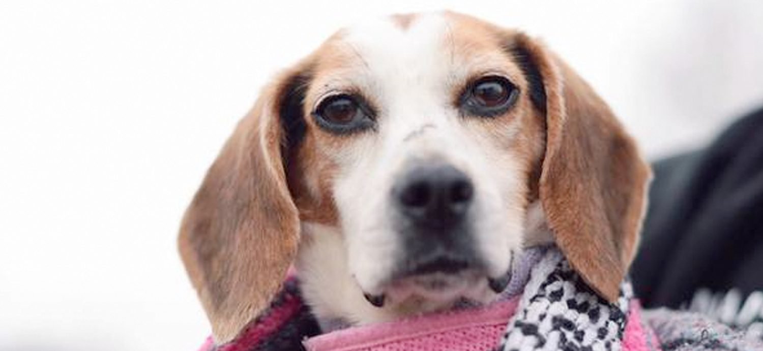 Paralyzed beagle found in Floyd County dump. She might have been lab test animal