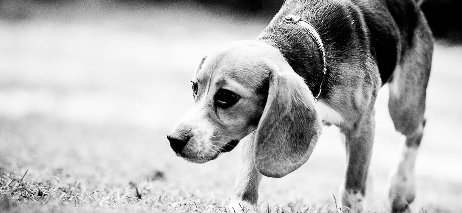 A dog who suffered through animal testing