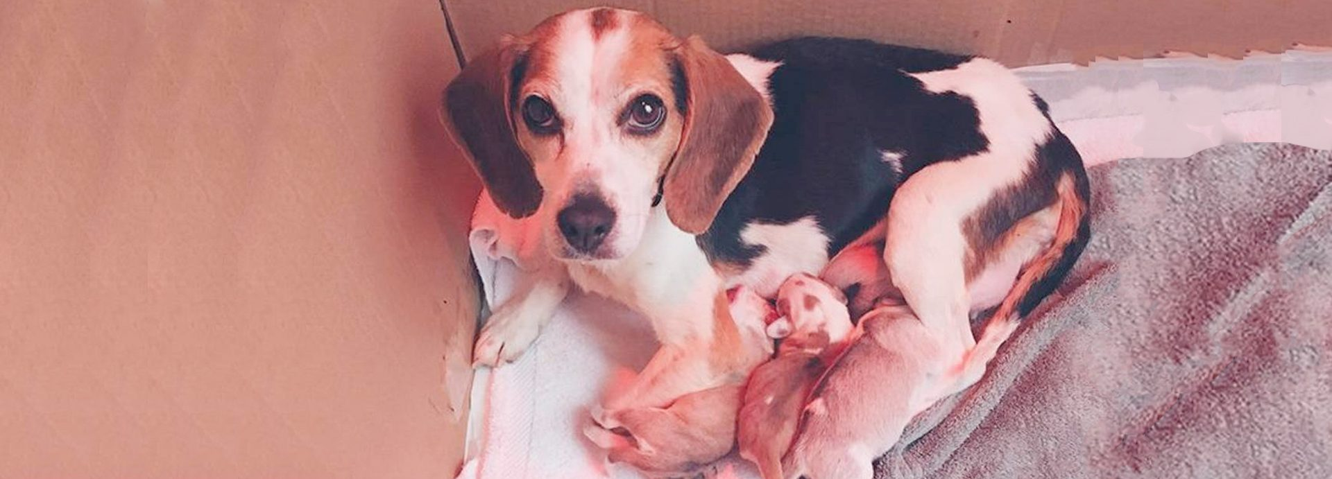 Paralyzed beagle found in Floyd County dump gives her rescuers a big surprise.