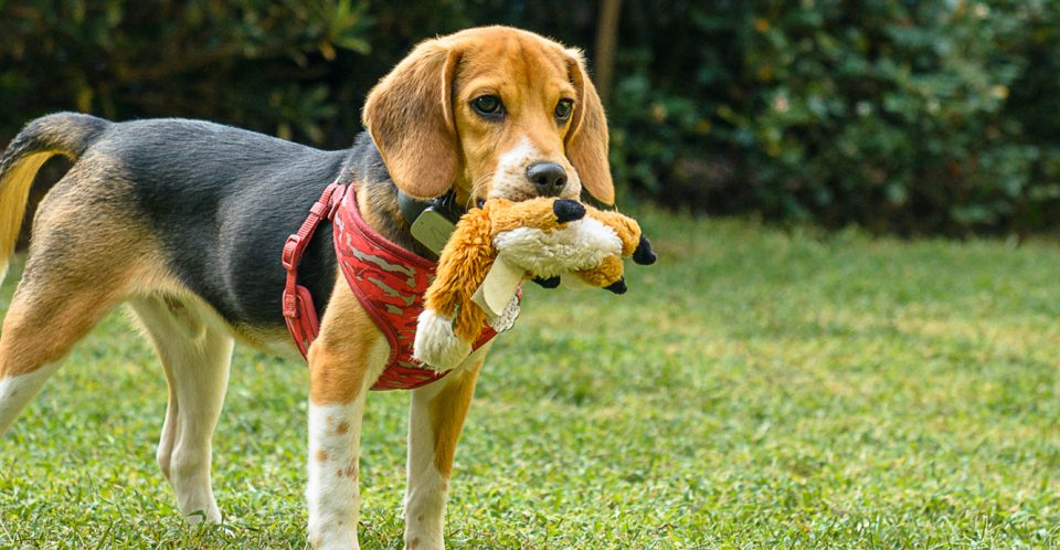 Beagle and his favorite toy