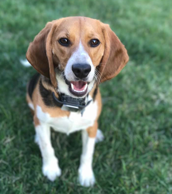 Beagle wearing Whistle