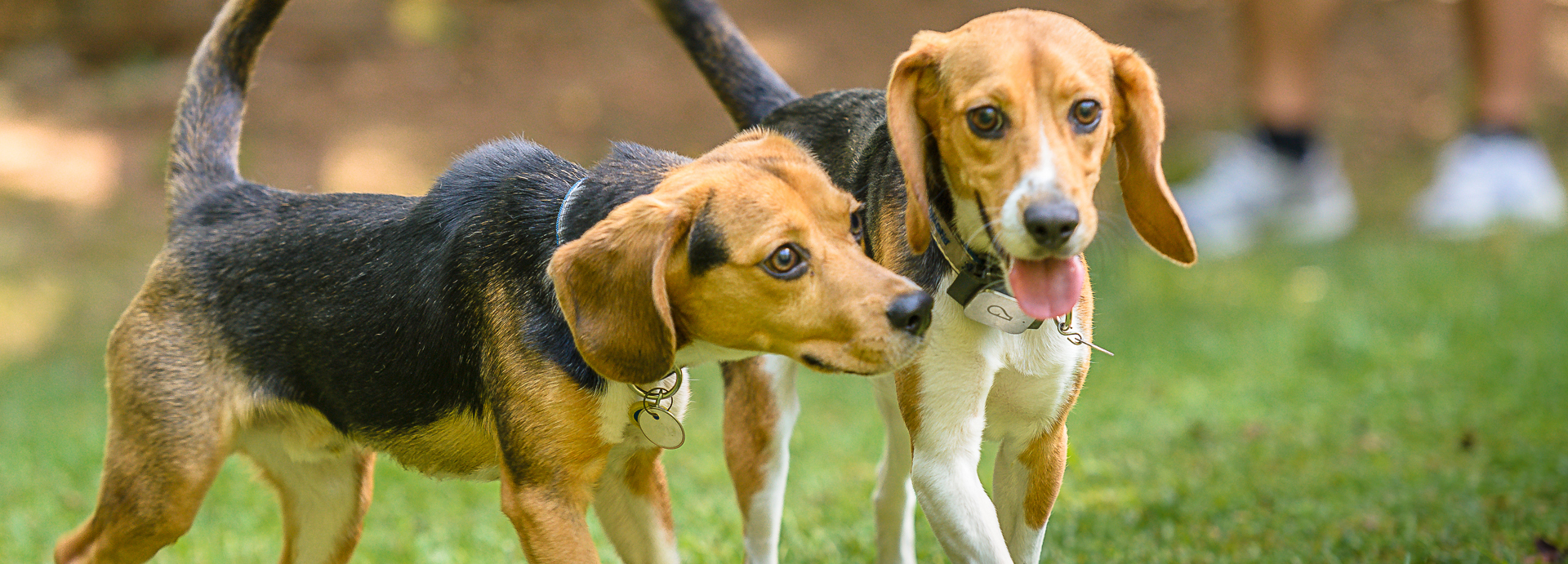 Grounds and Hounds Rescue Roast initiative partners with Beagle Freedom Project
