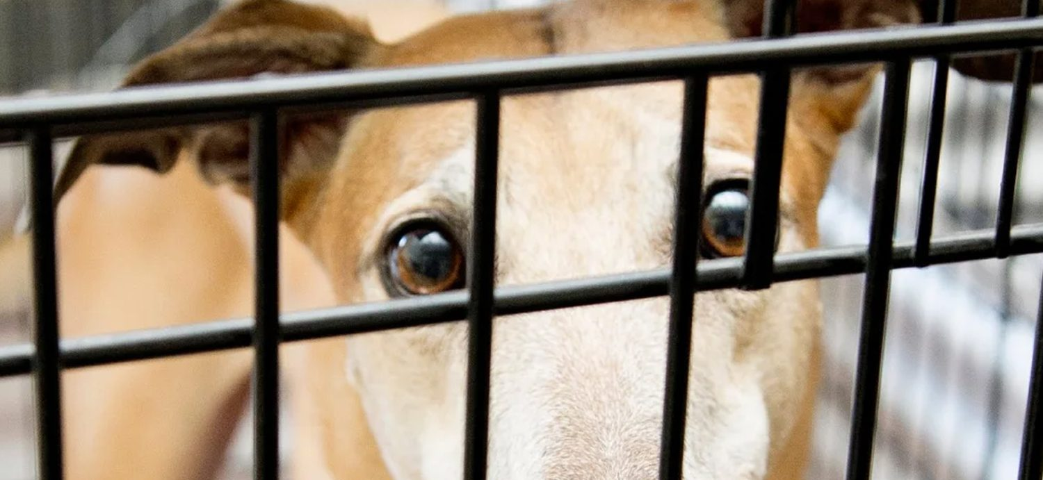 New California law will free 'blood slave' donor dogs